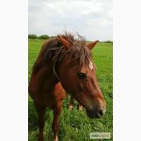 Продам великого гарного робочого коня