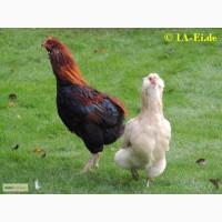 Привезу под заказ инкубационые яйца курей породы Араукана из Европи