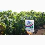 Семена подсолнуха «Рими» под евролайтинг
