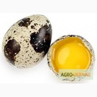 Свіжі домашні перепелині яйця