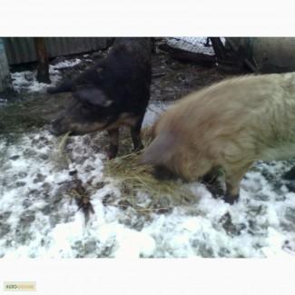 Продам кнурів Венгерська Мангалиця