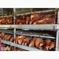 Суточные цыплята несушки Ломан браун (230-340 яиц за 60 недель)