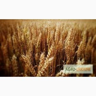 Купим пшеницу.Самовывоз