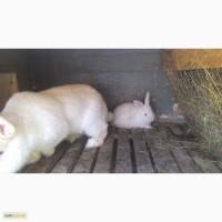 Продам кроликов порода НЗБ