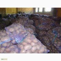Картофель оптом от 40 коп/кг из КФХ