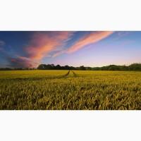 Куплю пшеницу классовую и фуражную оптом