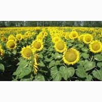 Насіння соняшника «Атілла» 95-100дн
