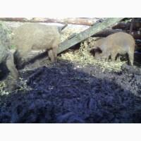Свинка, свинки, поросята мангал, лешки