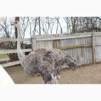 Продам або обміняю самку африканського страуса