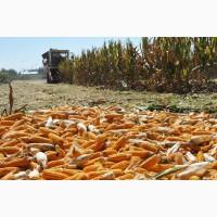 Семена кукурузы Оржиця, Солонянский, Любава