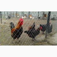 Маран Чорно-Мідний інкубаційні яйця