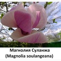 Акклиматизированые семена Магнолия Суланжа 100гр-200грн/ 10шт-10грн