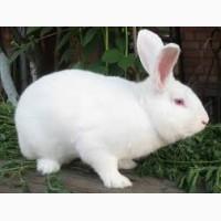 Продаємо кролів породи ТЕРМОНДСЬКА БІЛА