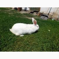 Кролики калифорнийской и термонской породы