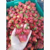 Продам саджанці полуниці сорту Сирія, Тернопільська область