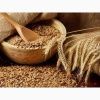 Закупаем пшеницу всех классов