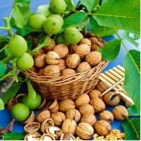 Сортовые саженцы грецких орехов