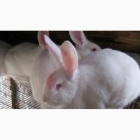 Кролики пород Белый паннон и Серебристый