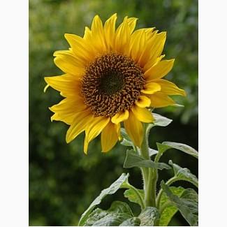 Насіння соняшнику продам. У нас лише оригінальне насіння. Телефонуйте, домовимось