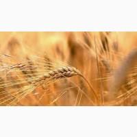 Семена ржи (жито) озимой гибрид Юпитер F1