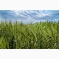 Закупаем товарную пшеницу, ячмень