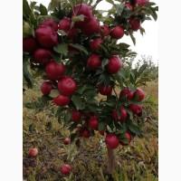 Продам смачні соковиті яблука