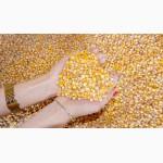 Закуповуємо кукурудзу постійно!! не кондицію, вологу, биту, зерновідходи