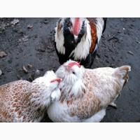 ПРОДАЕМ ИНКУБАЦИОННОЕ ЯЙЦО, яйца Фавероль, (лососевый), чистокровные