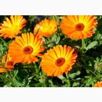 Продам цветы календулы