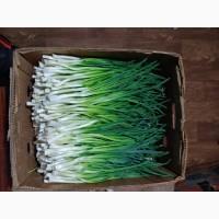 Зелен цибуля (перо)