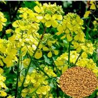 Пpодаємо насіння гіpчиці жовтої