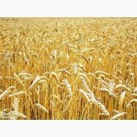 Куплю Пшеницу 2-3 класс,фураж.За наличный и безналичный расчет.