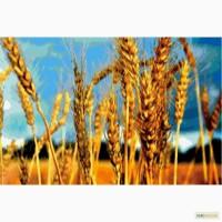 Озимая пшеница, озимый ячмень купить в Харькове элита, 1 реп