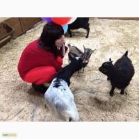 Кози породи міні до 35 см в холці, коза, карликові кізоньки для будинку