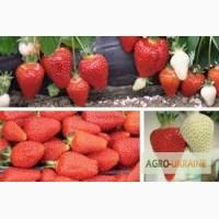 Касетна розсада клубніки Альба- 100%врожай вже з першого року плодоношення