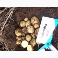 Семенной картофель из Беларуси