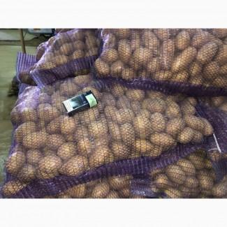 Продам посадочный картофель! Королева Анна 2репродукции