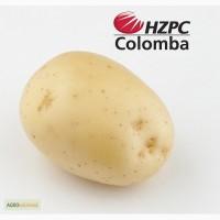 Насіннєва картопля Коломба