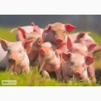 ТОВ Ситий Двір продає поросят мясної селекції на від одівлю