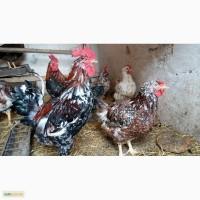 Инкубационное яйцо, цыплят Полтавских ситцевых кур