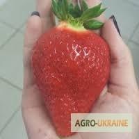 Саджанці клубніки Роксана (Roxana). Суперурожайна- до 1.4 кг/кущ. Касетні і фріго