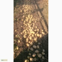 Класний картофель оптом