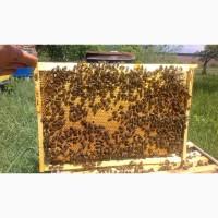 Продам Пчелопакеты, Бджолосім#039;ї Карпатка та Степова Украинка