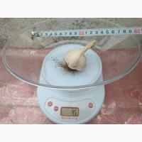 Продаем семена чеснока, зубок первой репродукции - сорт Любаша