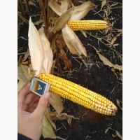 Семена кукурузы F-1 Муасон