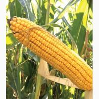 Гібрид кукурудзи ДС 1071 С