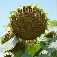 Продаємо насіння соняшника ІРІМІ