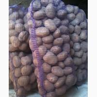 Продам картофель на экспорт оптом