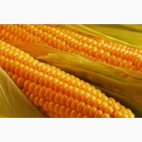 2018 рік! Насіння кукурудзи Штандарт (Маїс) ФАО 400 кукуруза Маис