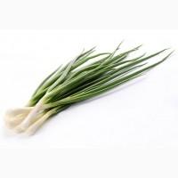 Продам зелену цибулю (перо)